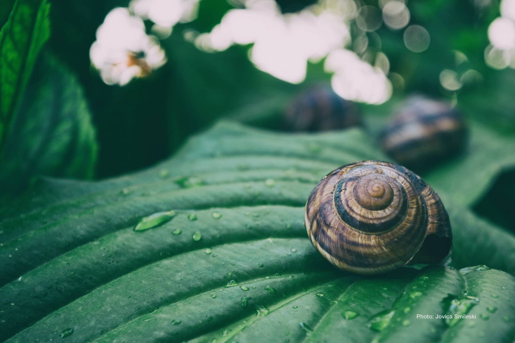 Close-up of snail on wet green leaf