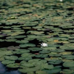 cvetoč lokavnj na površini vode