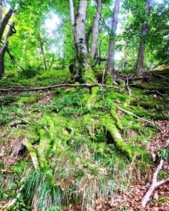 drevesa poraščena z mahom